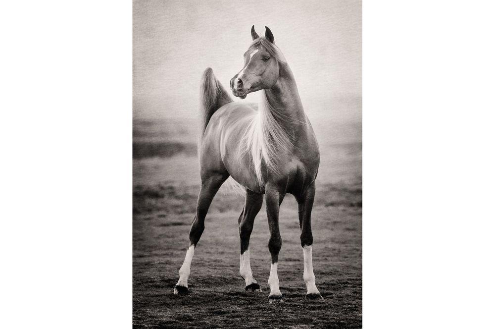 Fotografie arabian horses Bashir al Shaqab-robertpeekfotografie