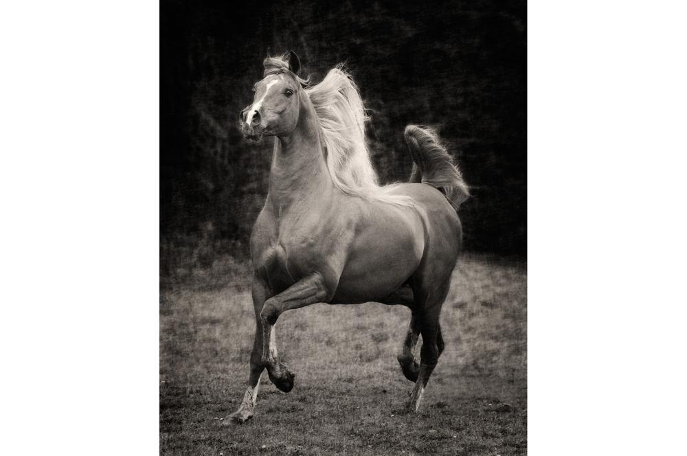 Fotografie arabian horses Bashir al Shaqabg