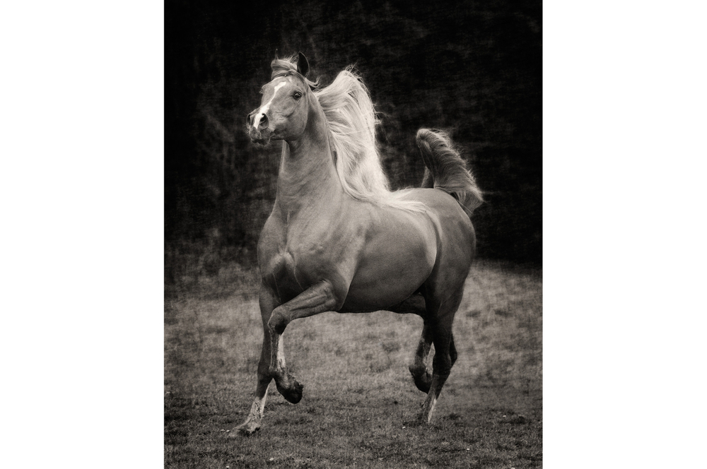 Fotografie arabian horses Bashir al Shaqab_robertpeekfotografie
