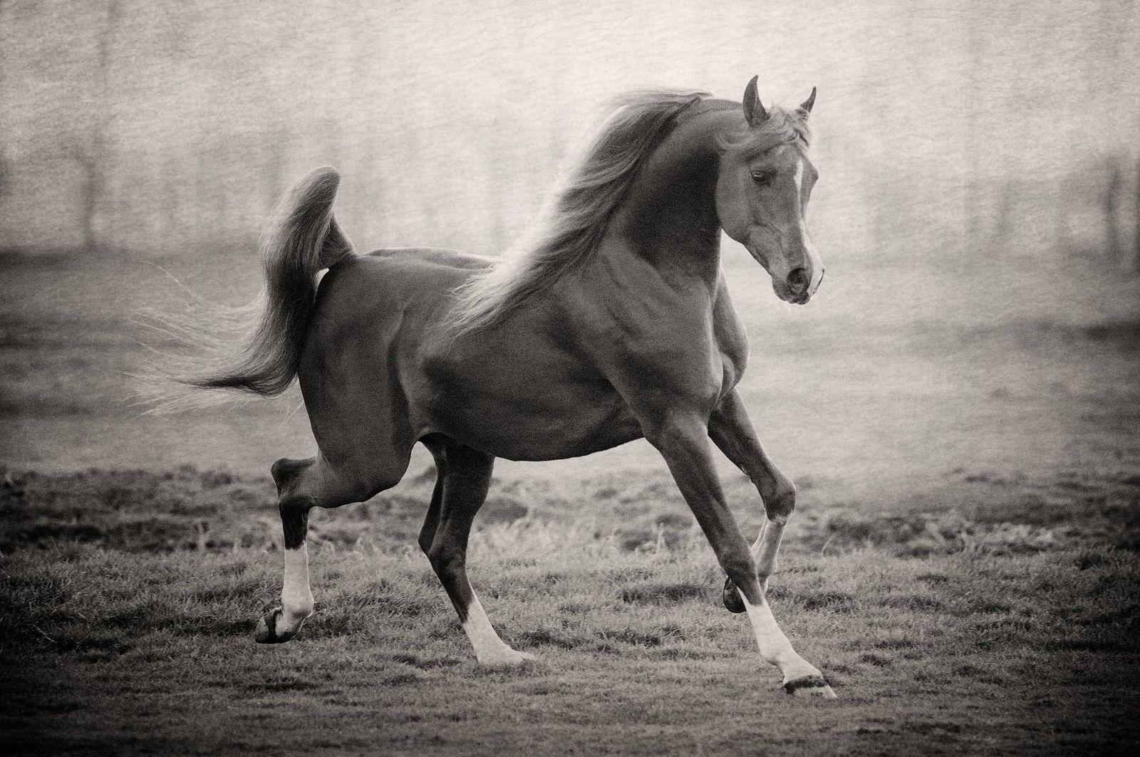Fotografie arabian horses_robertpeekfotografie