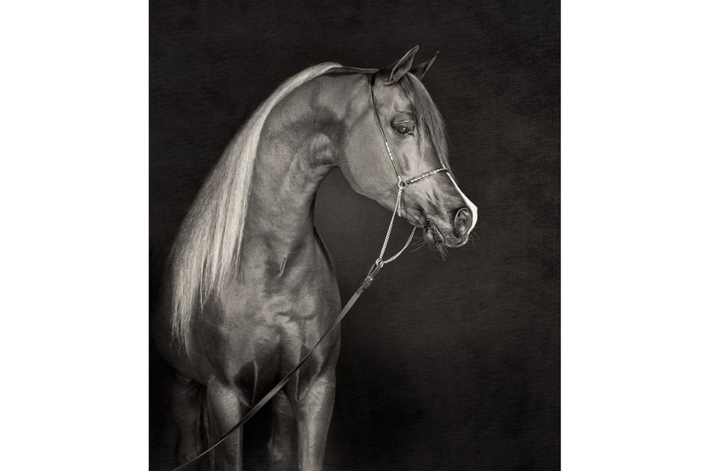 Fotografie arabian horses Bashir al Shaqab