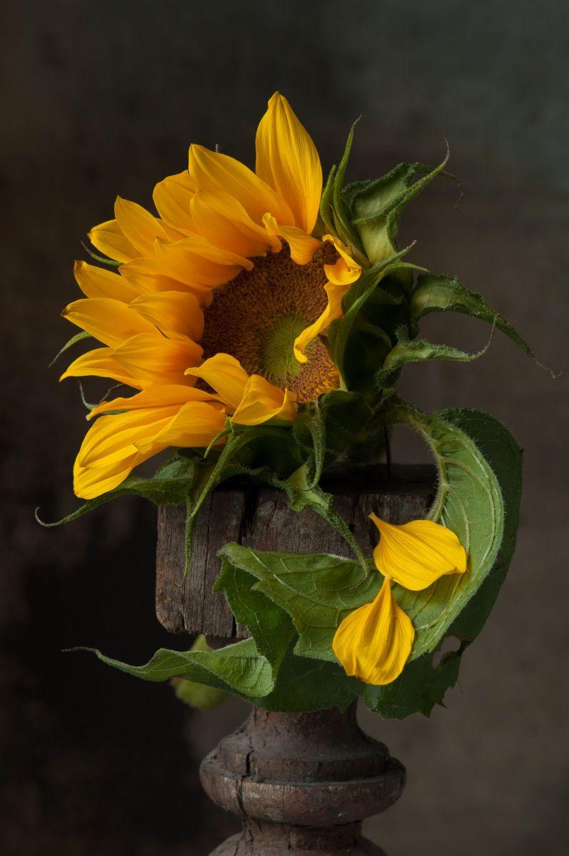 Sunflower Pedals, 2015