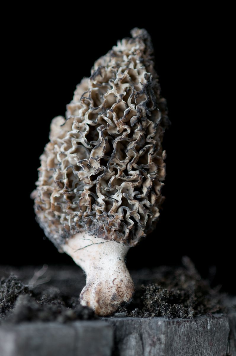 """""""Morel Mushroom"""", 2012"""