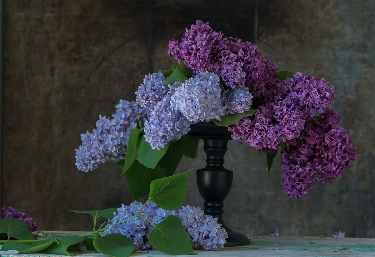 1lilacs_photo_lynn_karlin_43.jpg