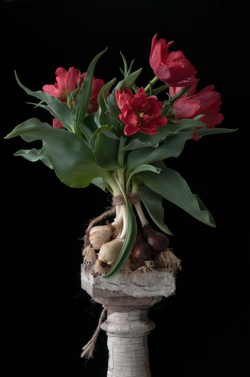 Red Parrot Tulip Bulbs, 2015