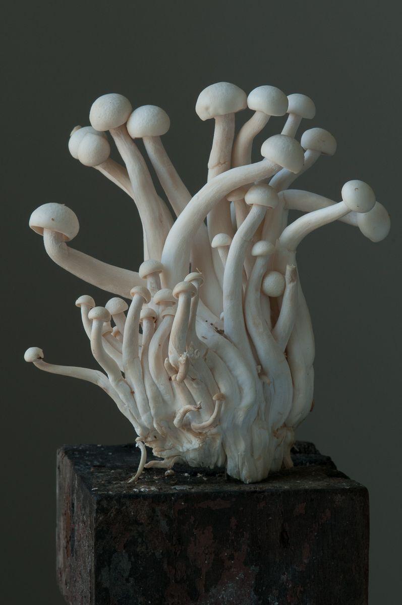 """""""White Beech Oyster Mushroom"""", 2012"""