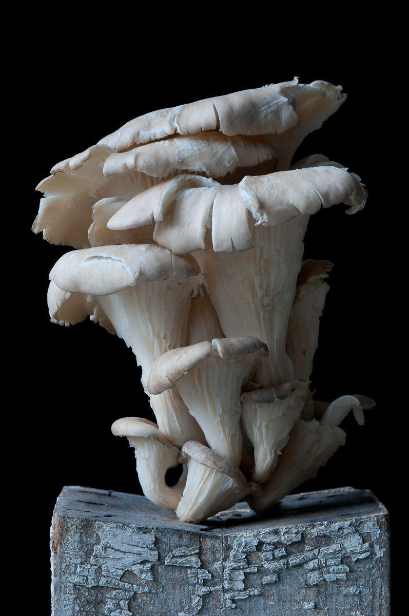 """""""Oyster Mushroom"""", 2012"""