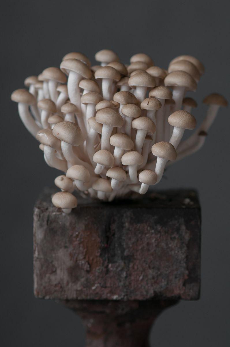 """""""Honshemiji Mushroom"""", 2013"""