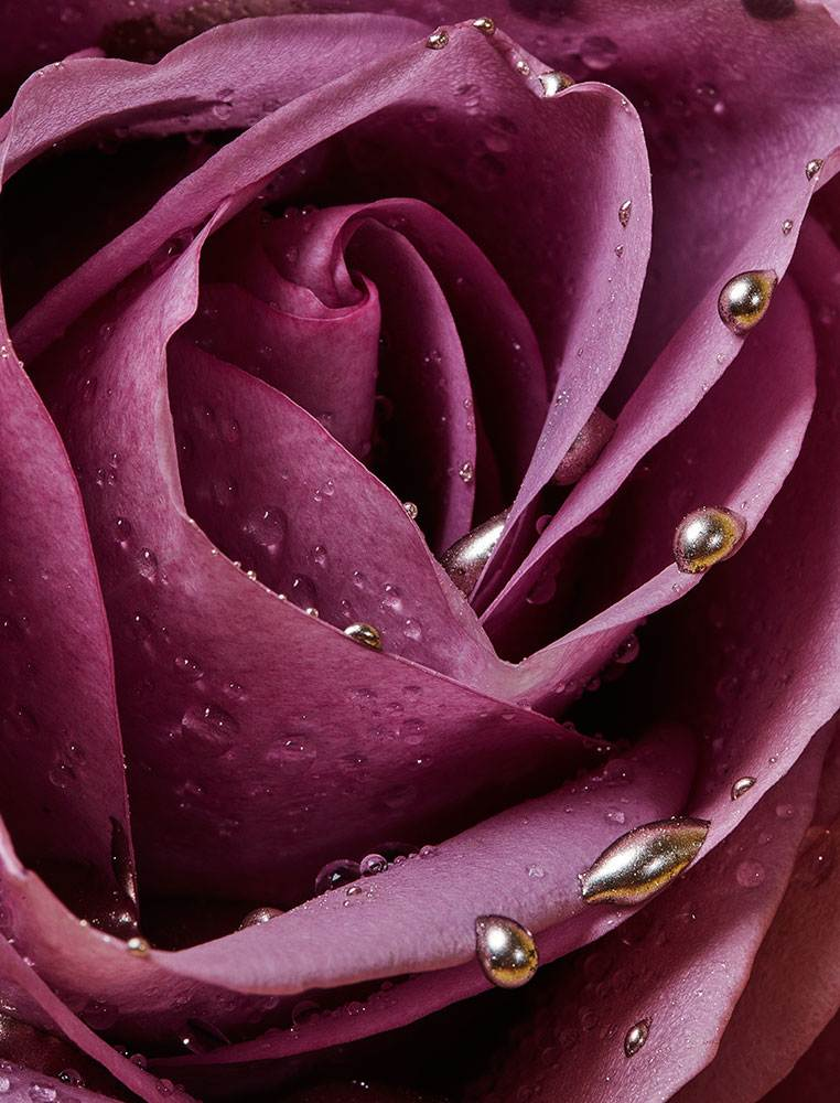 Rose sprinkled with water and golden  drops