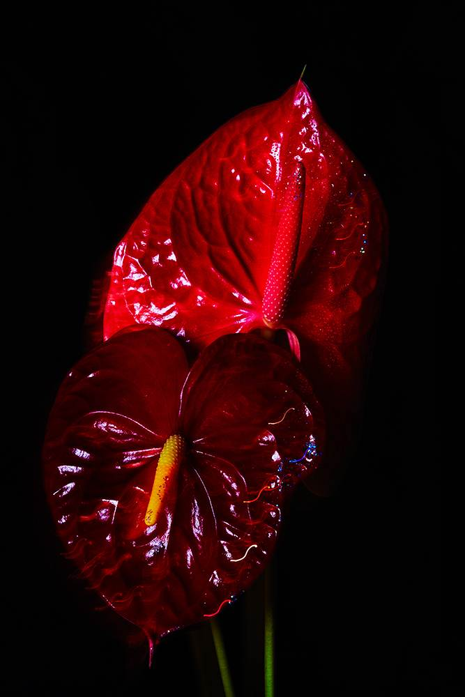 still life of ANTHURIUM flowers