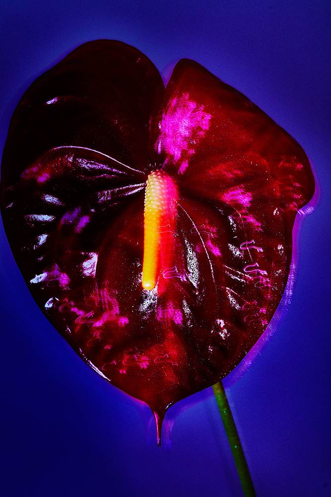 Still life of an ANTHURIUM flower
