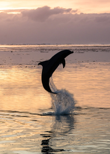Dolphin. Moorea, Polynesia