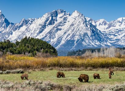 Grizzly Bear family and Grand Tetons