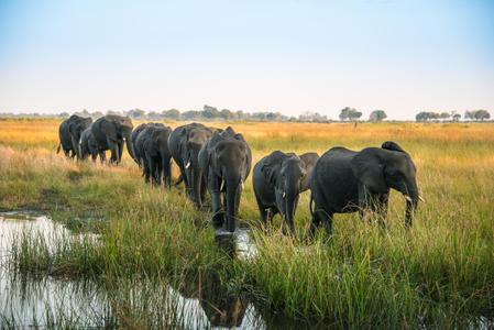 Elephant Parade. Botswana
