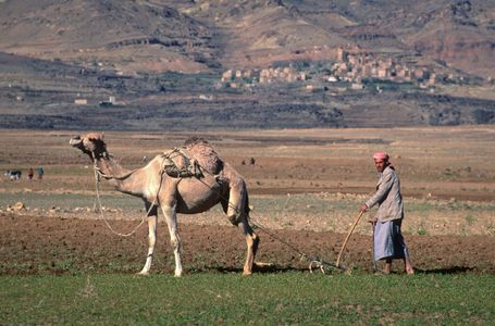 Farmer with Camel. Sana'a, Yemen