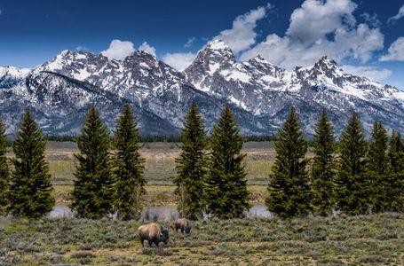 Bison Along the Snake River, Grand Teton National Park