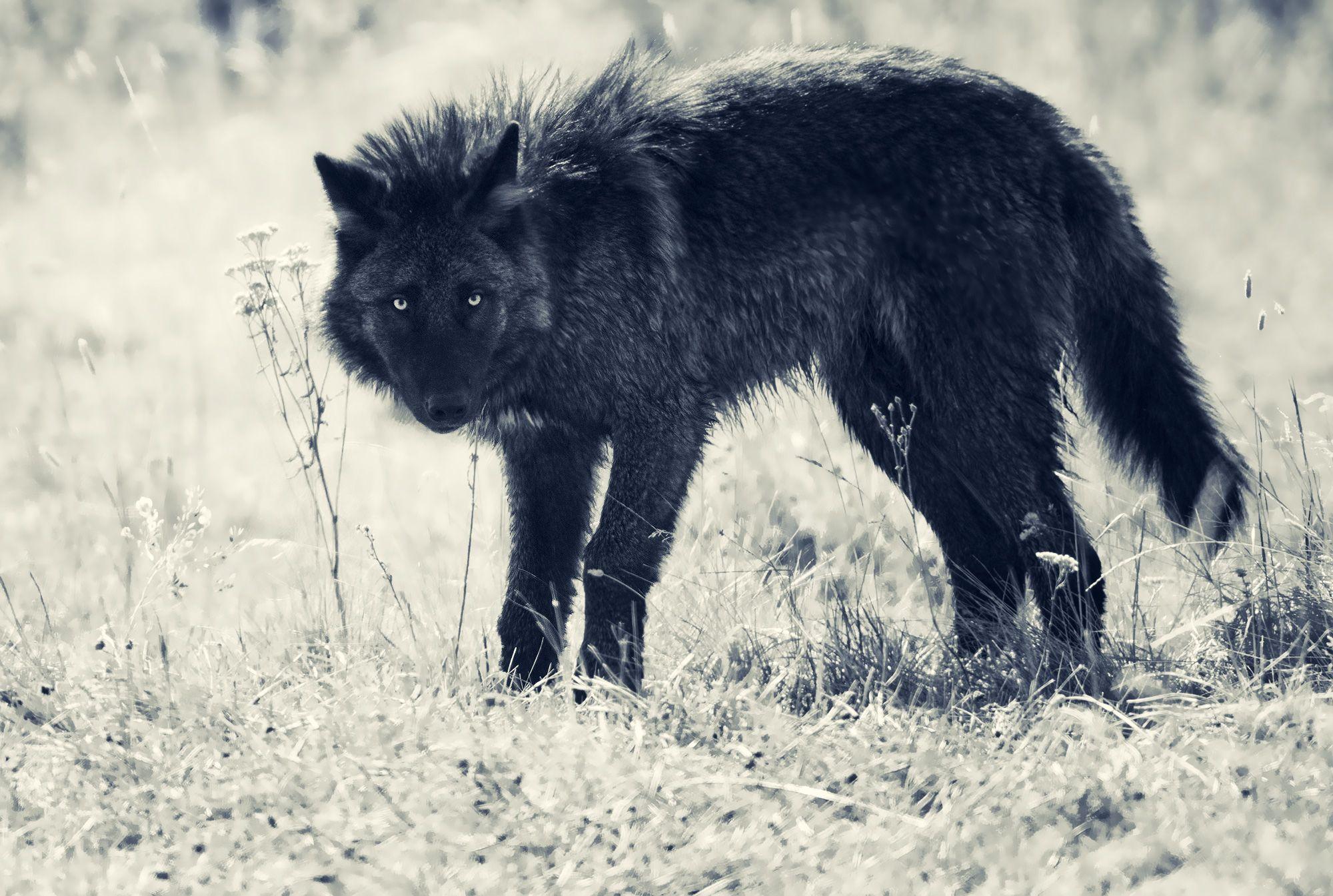 wolf_glance.jpg