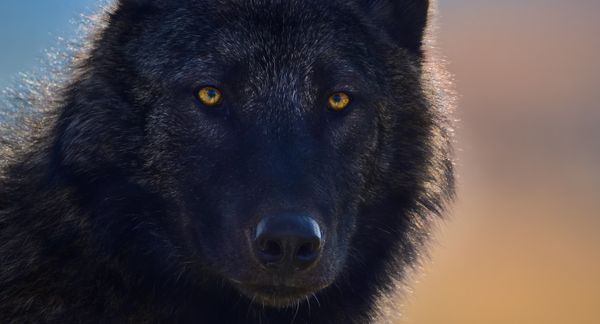 wolf_closeup_tinmanlee.jpg