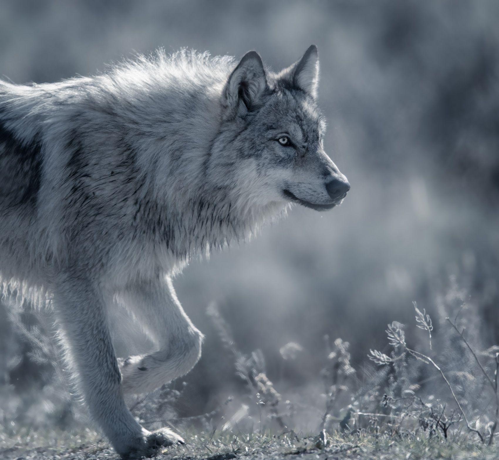 wolf45.jpg