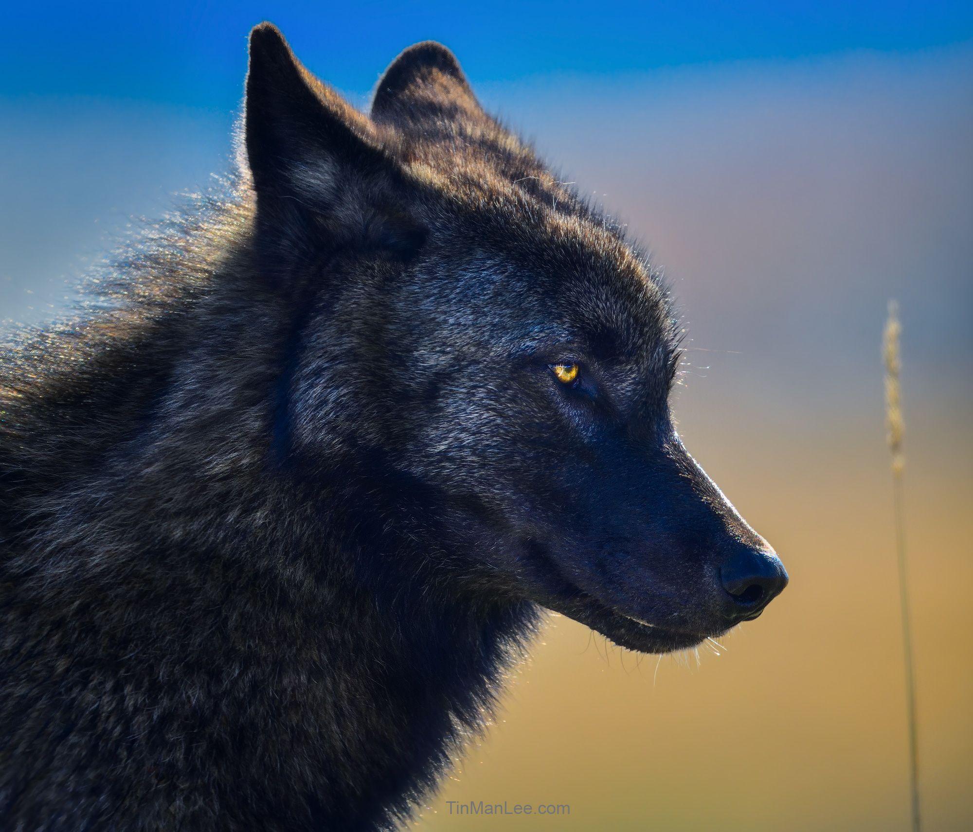 wolf_side1.jpg