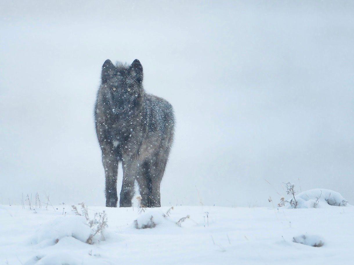 wolf5.JPG