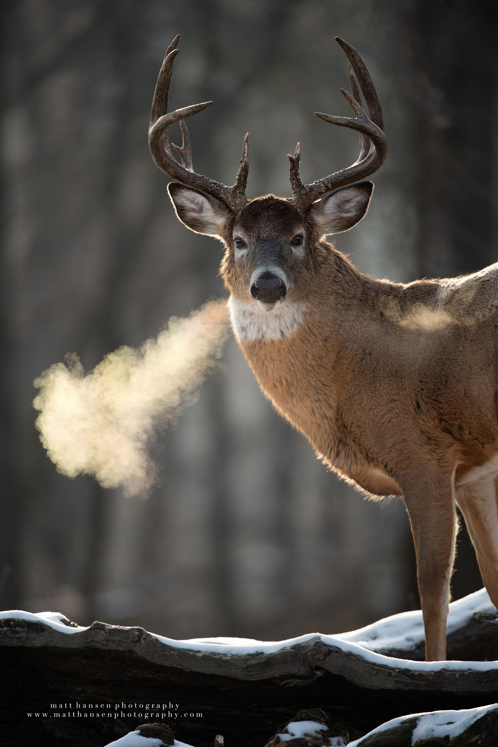 Whitetail Deer Photography