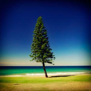 1Manly_pine.jpg