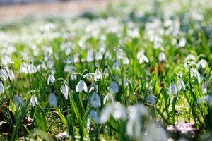 Field-of-Snowdrops--JABP691.jpg