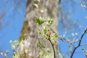 Unfurling-Leaves--JABP1307.jpg