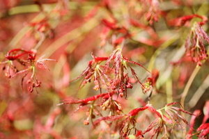 Red-Maple-Budding--JABP1309.jpg