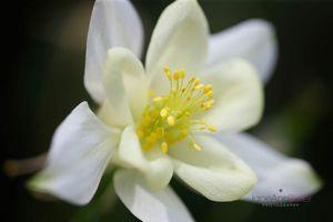 White-Aquilegia-Bloom--JABP1549.jpg
