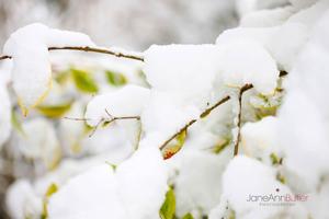Snow-Drenched-Choisya--JABP953.jpg