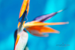 Bird-of-Paradise-Flower--JABP1391.jpg