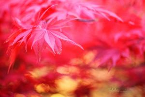 Autumn-Maple--JABP927.jpg