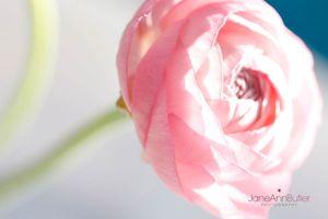 Pink-Ranunculus--JABP1519.jpg