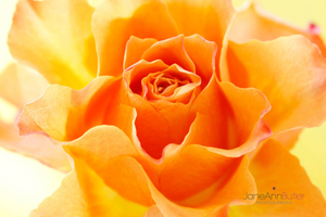 Sun-Kissed-Orange-Rose--JABP1792.jpg