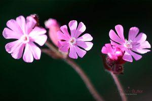 Red-Campion-Wild-Flower--JABP1566.jpg