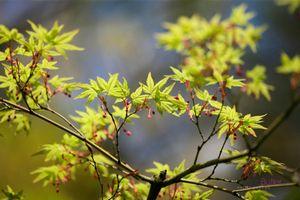 Acer-Palmatum-Springtime--JABP1299.jpg