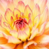 Decorative-Dahlia-JABP844.jpg