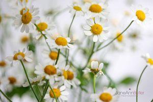 Carefree-Daisiy-like-Feverfew--JABP1425.jpg