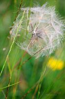 Parachute-Dandelion--JABP1367.jpg