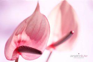 Pink Anthurium Charm-Flamingo Flower--JABP1402.jpg
