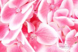 Pink-Hydrangea--JABP1793.jpg