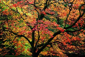 Windy-Maple-Tree--JABP1286.jpg