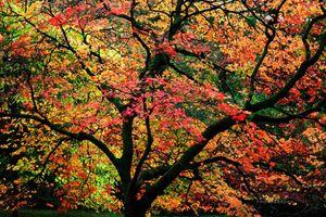 Windy-Maple-Tree--JABP1286.jpg