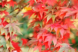 Autumn-Maple-Leaves--JABP1291.jpg