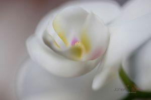 Amaballis-White-Orchid--JABP321.jpg