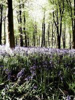 Bluebell-Woods--JABP176.jpg
