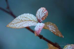 Frosty-Clematis-Shoot--JABP1814.jpg