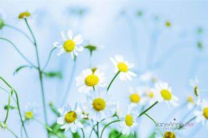 Summer-Feverfew--JABP1479.jpg